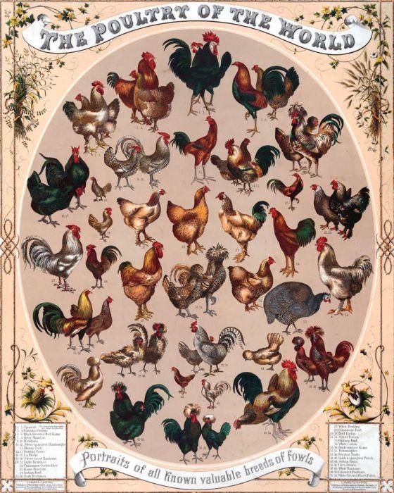 els pollastres al mon